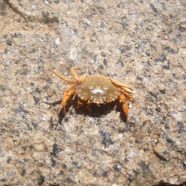 crabby mini