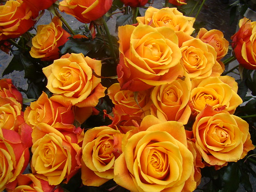 Rosas Romanas para mi padre y todos los padres en su dia¡¡¡,Roman roses for my father and all fathers in the day¡¡