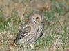 Eurasian Scops Owl by Oleg Chernyshov