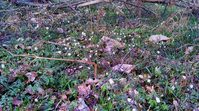Wood Anemone flowers 2014-03-22 16.02.40