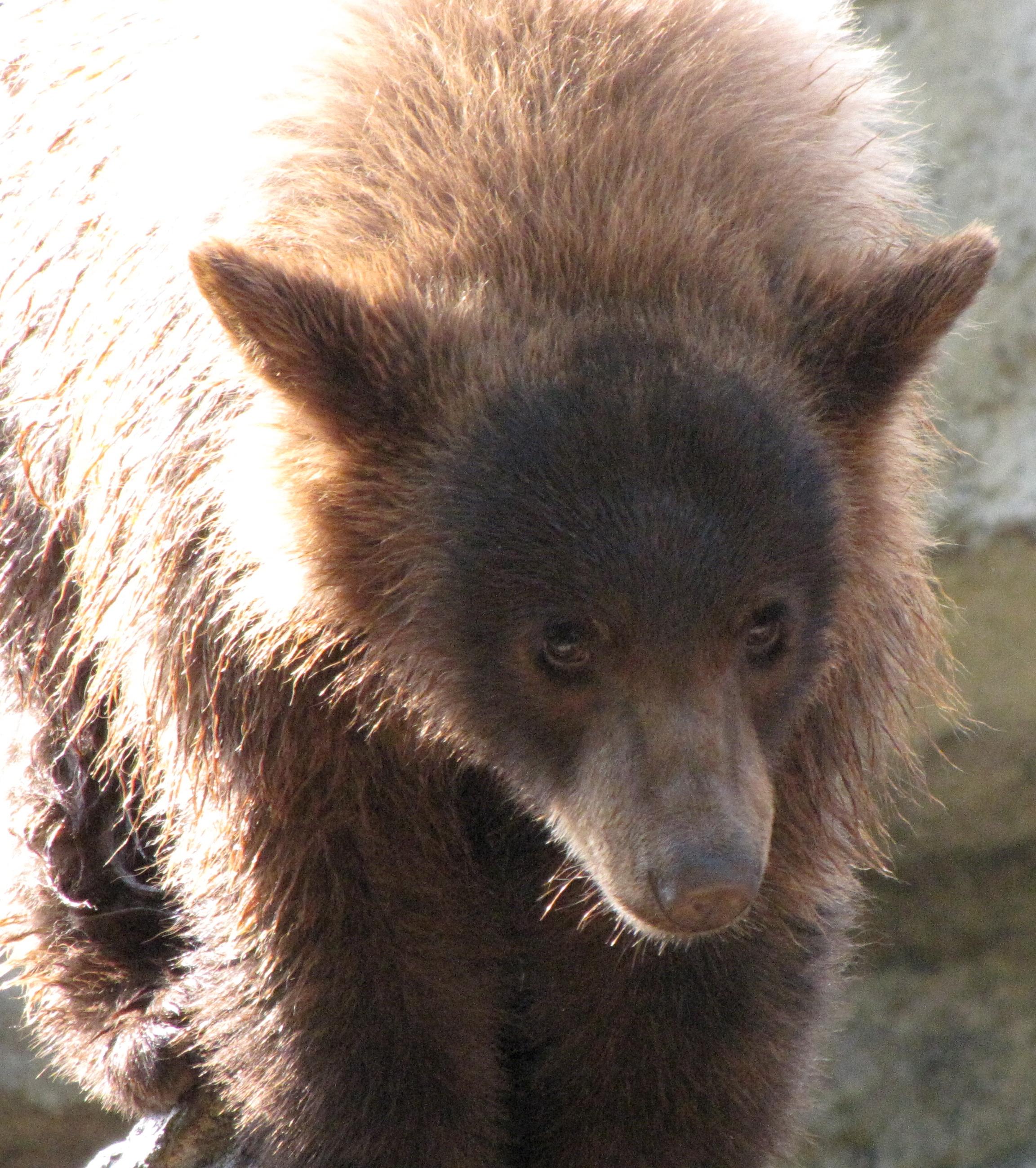 Blcak Bear Cub