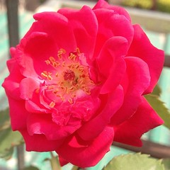 The first #rose buddy in terrace #garden.