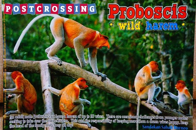 Sabah - Proboscis Monkey V2