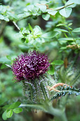Thistle Bloom