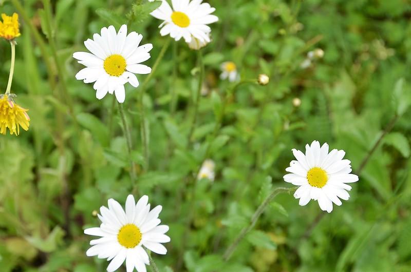 Daisies 15.05 (3)