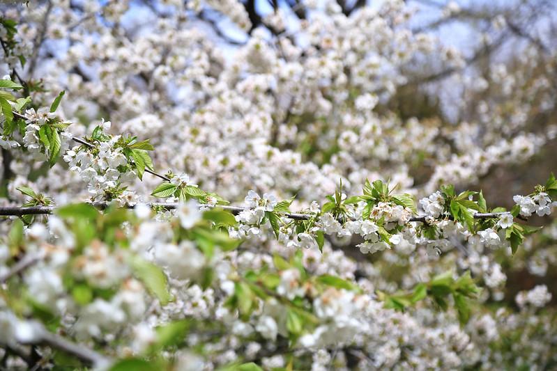 cerisier blanc jardin botanique de madrid