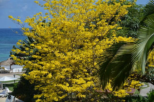 Jamaica's National tree, I was told   Explore rowanajo's ...