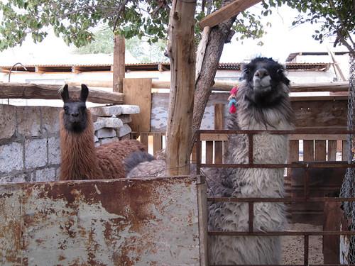 llamas in Toconao