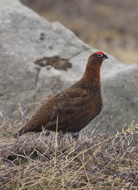 red grouse male 2