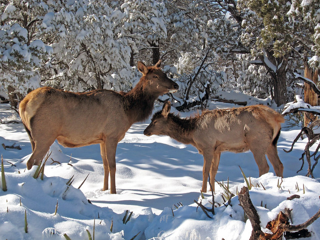 Roaming elk in Canada by flickr user Grand Canyon NPS