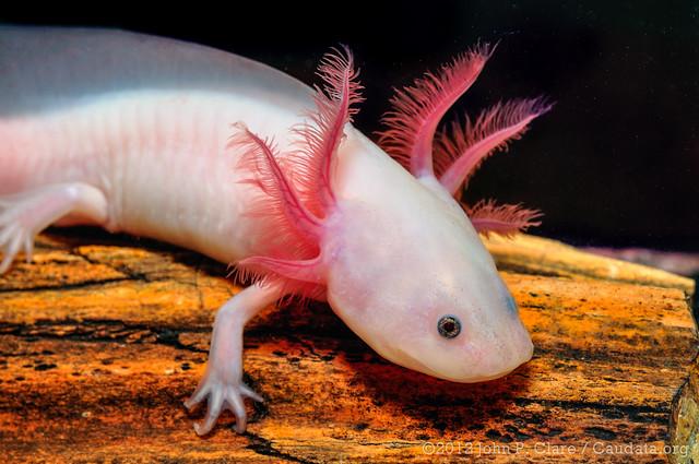 Axolotl (Ambystoma mexicanum) - Leucistic | Flickr - Photo