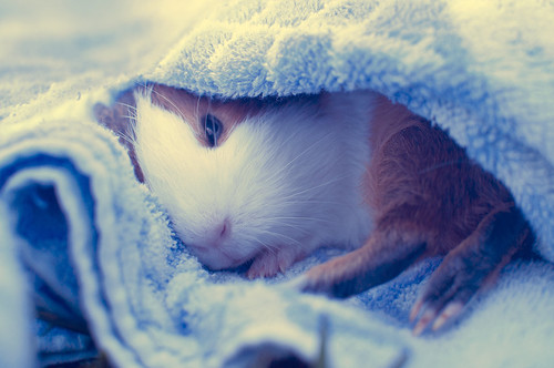 Penélope guinea pig by Riiceballs