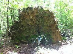 Massive Root Ball
