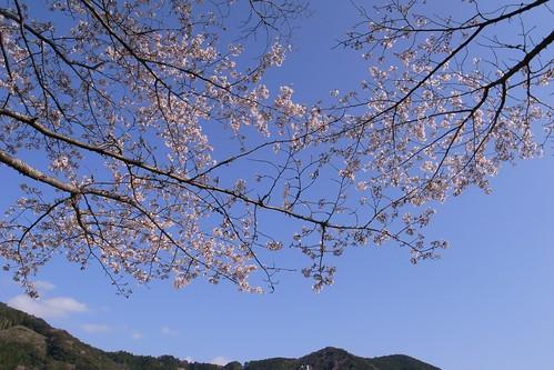 2012SAKURA#02
