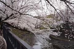 地元・大岡川で花見