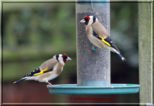 Goldfinches 9