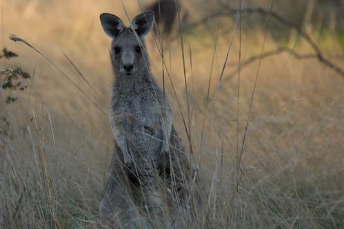 Kangaroo 2012-04-13 (_MG_6653)