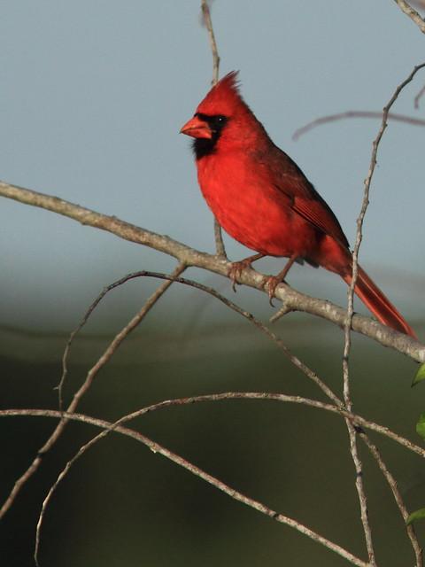 Northern Cardinal 20120415