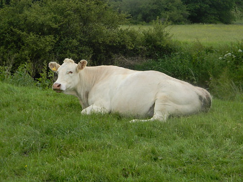 Cow by the Ouse