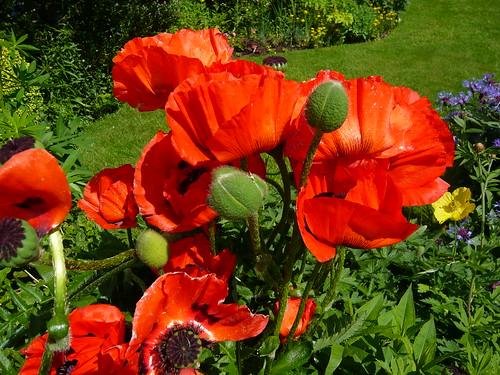 June garden 055 Oriental Poppy