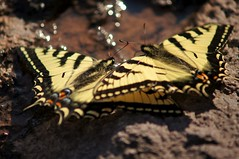 Canadian Tiger Swallowtail Butterflies