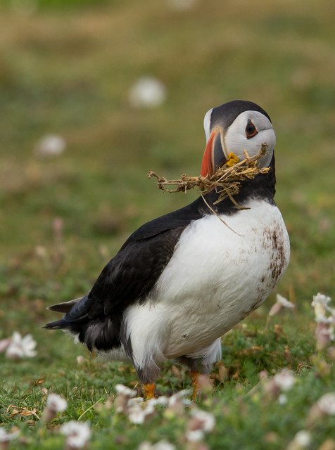 puffin with nesting material 3