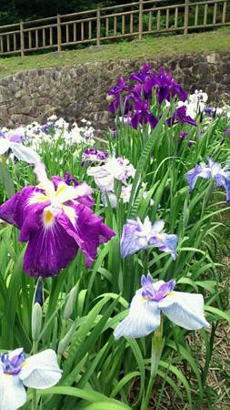 赤塚山公園花しょうぶまつり