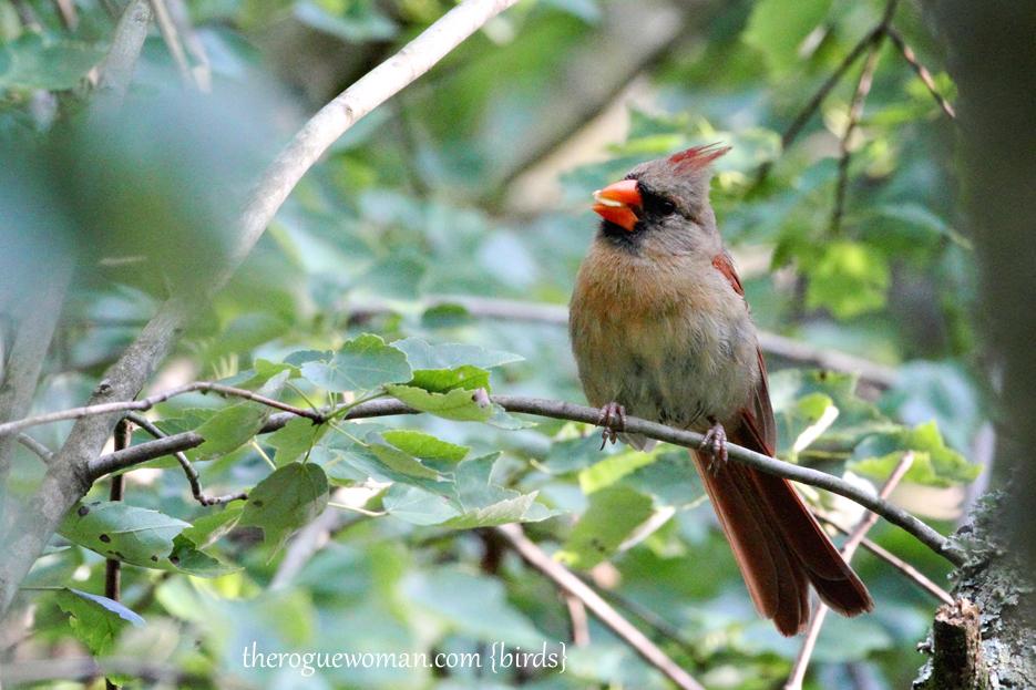 060512_04_birding05_cardnial