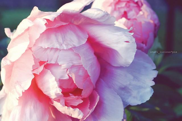 pfingst_rose_2