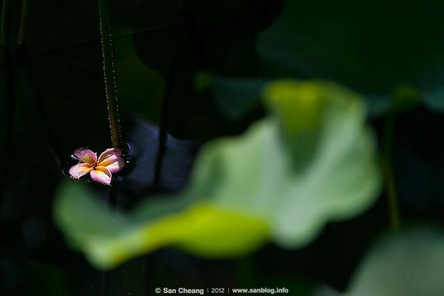 flower_MayLotus-0130