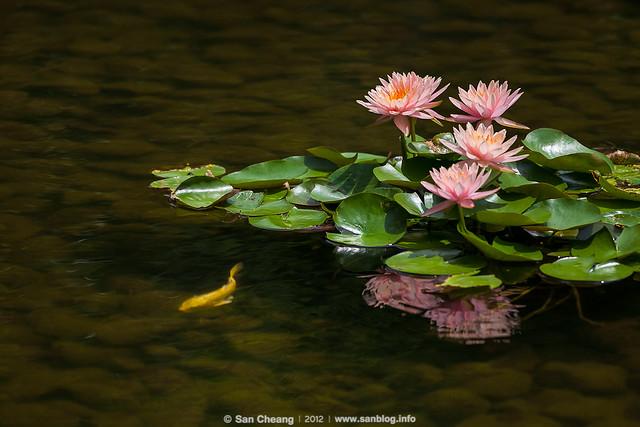 flower_MayLotus-0278
