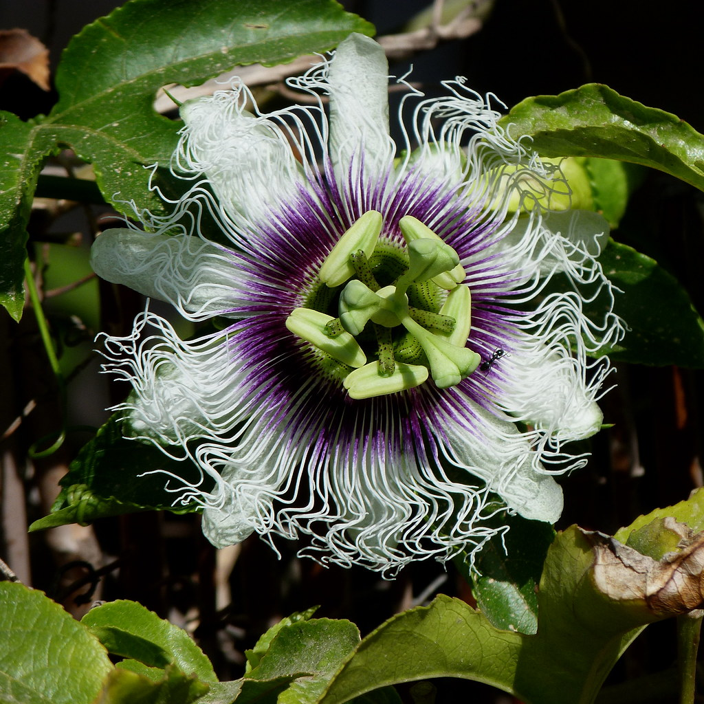 12-05-2012-passionflower