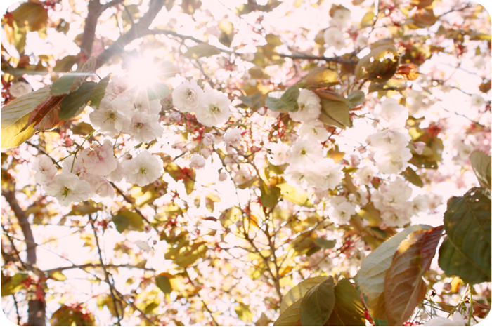 {white} cherry blossoms