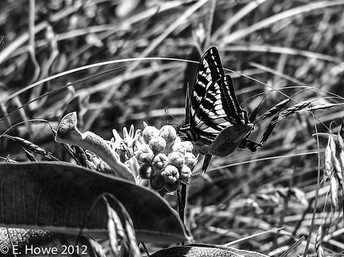Edie's Image of the Day: Swallowtail Butterfly