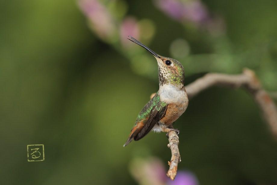 Allen's Hummingbird 051812-4