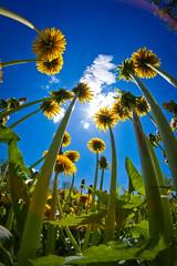 [Free Images] Flowers / Plants, Taraxacum ID:201205240600