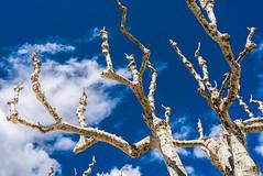 Plane Tree and Sky