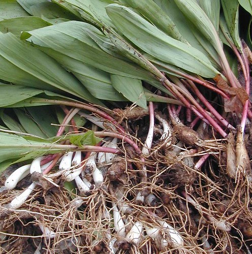 During April and May ramps are often served in restaurants in the eastern U.S.