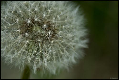 Dandelion // 23 05 12