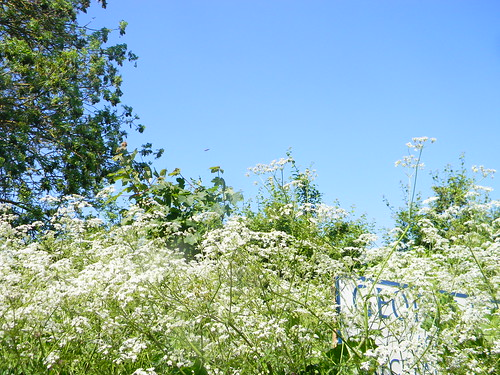 Cow parsley with sign