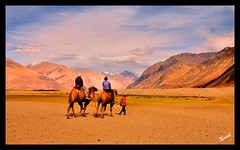 Bactrian Camels @ Nubra Valley