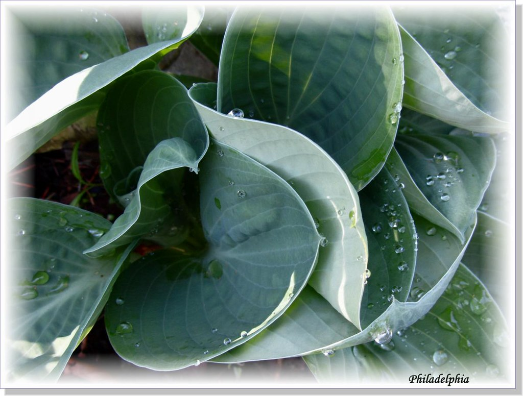 Hostas Only 1 (23)