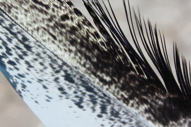 Ibis feather