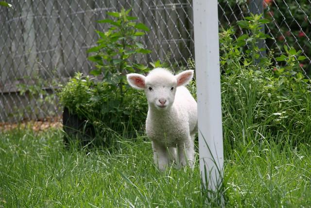 baby sheep 3