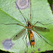 California Crane Fly - Photo (c) Don Loarie, some rights reserved (CC BY-NC-SA)
