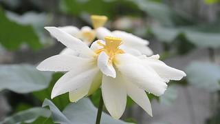 Lotus-AV 2