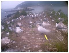 1010528(11點)自動監測紀錄傳回清晰的黑嘴端鳳頭燕鷗登島影像