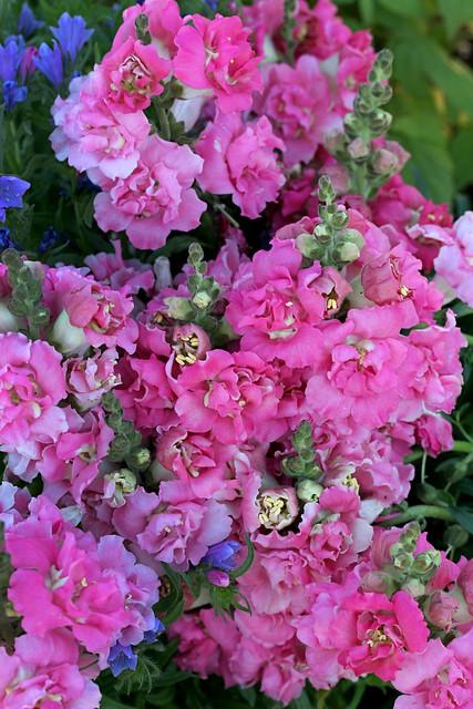 antirrhinum_dbl_pink_cluster