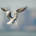 Tern hovers over the water at Edwin Forsythe NWR with Atlantic City faintly on the horizon 2237