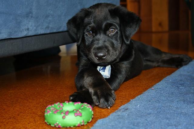 Molly the labrador cross rottweiler puppy | Flickr - Photo ...